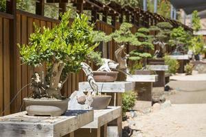 Vielzahl von Bonsai-Bäumen ausgestellt foto