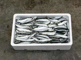 frische mediterrane Sardine, foto