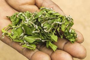 Raupen der Seidenraupe fressen grüne Blätter. Instar Larve.