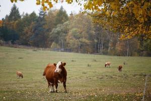 Kühe auf der Herbstweide foto