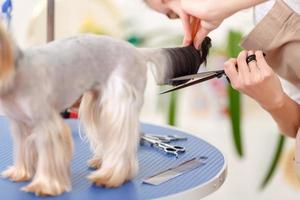 Yorkshire Terrier steht während des Verfahrens ruhig foto