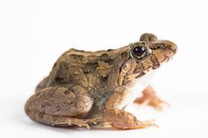 Frosch foto