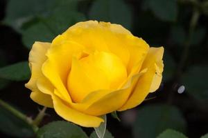Blume: Nahaufnahme gelbe chinesische Rosenblüte isoliert Peking, China foto
