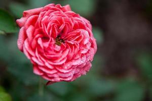Blume: Nahaufnahme rosa chinesische Rosenblüte isoliert Peking, China foto