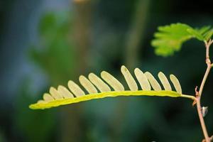 Tamarinde, Tamarindus Indica foto