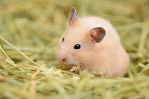 goldener Hamster