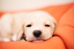 Labrador Retriever Welpe foto