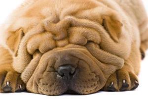 Nahaufnahme des faltigen Gesichts eines hellbraunen Sharpei-Hundes foto