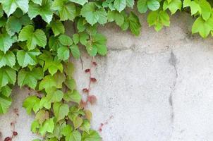 Nahaufnahme von üppigem Efeu bedeckte eine Wand foto