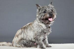 Cairn Terrier Hund mit grauem Fell. Studioaufnahme.