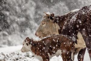 Kuh und ihr Baby im Schnee foto