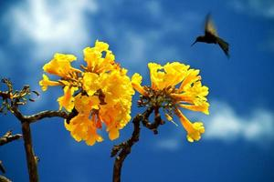 Kolibri fliegt in der Nähe eines gelben Ipe Amarelo Baumes