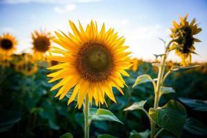 Sonnenblume im Sonnenuntergang foto