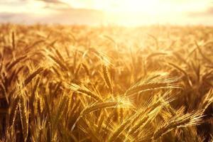 Weizenpflanzen in Richtung der untergehenden Sonne foto