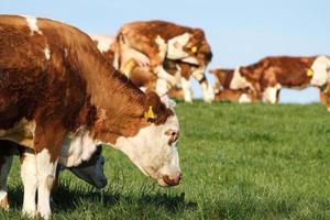 Milchkühe, Kälber und Bullen auf der Weide foto