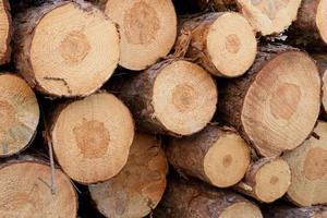 Nahaufnahme von gestapeltem Fruchtfleisch der roten Kiefer (Pinus resinosa) foto