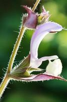 Salvia Sclarea foto