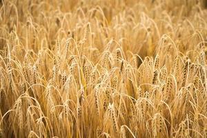 goldenes Weizenfeld für die Erntezeit