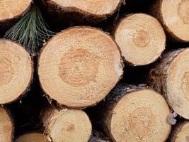 frisch geschnittene rote Kiefer (Pinus resinosa) foto