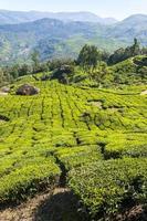 Teeplantagen in Munnar Bergen foto