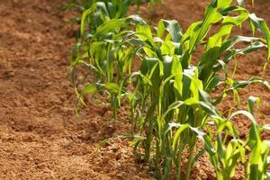 einzelne Reihe junger Maispflanzen in einem Landgarten foto