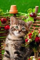 sibirisches Kätzchen foto