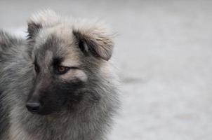 Hund, der nach links auf einem grauen Hintergrund schaut foto