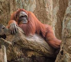Erwachsener Orang-Utan tief in Gedanken, auf Baumstamm ruhend