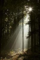 Sonnenstrahlen dringen in nebligen Nadelwald ein