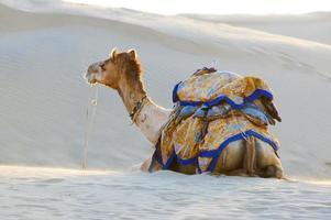 Kamele in der Wüste Thar, Jaisalmer, Indien foto