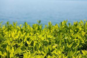 grüne Teeblätter in einem Garten auf borromäischer Insel