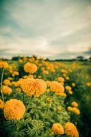 Ringelblumen oder Tagetes erecta Blumen Vintage