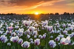 Tausende von weißen Mohnblumen unter rotem Himmel