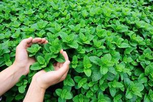 Frauenhände schützen Minzpflanze wachsen im Gemüsegarten foto