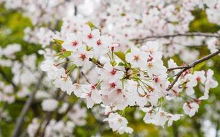 schöne Kirschblüte, rosa Sakura-Blüten foto