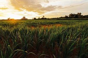 schöne Reisfelder und der Sonnenuntergang, Nordosten, Thailand foto