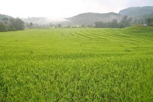 Reisfeld in Thailand foto