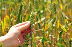 Weizen auf dem Feld halten foto