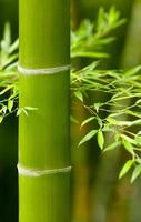 Bambus foto