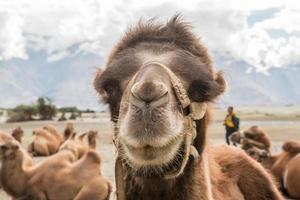 Kamele in der Wüste foto