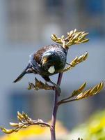 Tui Vogel thront auf Flachs, vorne auf.