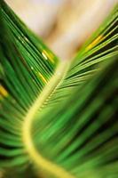 abstrakte Natur: Makro des grünen Palmenblattes foto