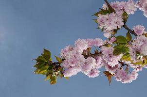 Sakura an einem sonnigen Tag foto