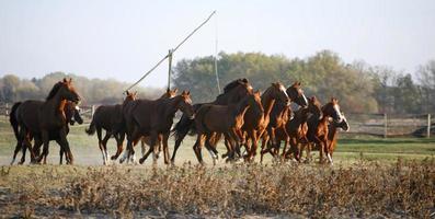 galoppierende Herde in der Puszta