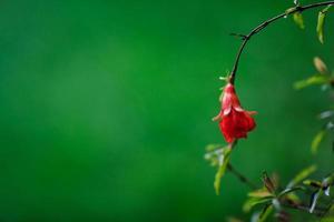 Granatapfelblüte foto