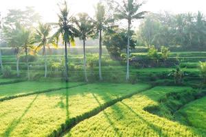 Reisfelder in Bali foto