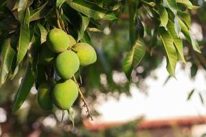 Bündel grüner unreifer Mango auf Mangobaum foto
