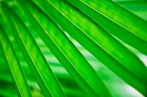 grünes Palmblatt foto