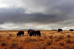 wo die Büffel herumlaufen