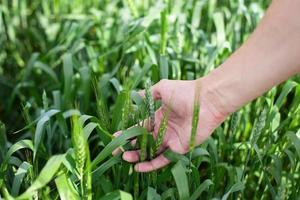 Hand eines Bauern, der reifenden Weizen berührt foto